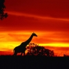 a giraffe journey at dusk,nature landscape Wallpapers, nature landscape Wallpaper for Desktop, PC, Laptop. nature landscape Wallpapers HD Wallpapers, High Definition Quality Wallpapers of nature landscape Wallpapers.