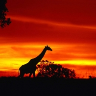 A Giraffe Journey At Dusk