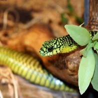 A Green Snake 2 Wallpapers