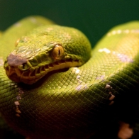 A Green Snake Wallpapers