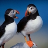 Download a pair of puffins hd wallpapers new 10, a pair of puffins hd wallpapers new 10 Free Wallpaper download for Desktop, PC, Laptop. a pair of puffins hd wallpapers new 10 HD Wallpapers, High Definition Quality Wallpapers of a pair of puffins hd wallpapers new 10.