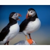 A Pair Of Puffins Hd Wallpapers New 10