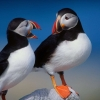 Download a pair of puffins wallpapers, a pair of puffins wallpapers Free Wallpaper download for Desktop, PC, Laptop. a pair of puffins wallpapers HD Wallpapers, High Definition Quality Wallpapers of a pair of puffins wallpapers.