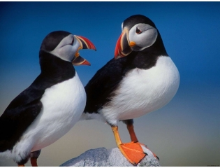 A Pair Of Puffins Wallpapers