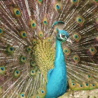 A Peacock Wallpapers