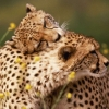 Download affectionate cheetahs wallpapers, affectionate cheetahs wallpapers Free Wallpaper download for Desktop, PC, Laptop. affectionate cheetahs wallpapers HD Wallpapers, High Definition Quality Wallpapers of affectionate cheetahs wallpapers.
