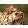 Affectionate Cheetahs Wallpapers