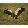 African Crowned Crane Masai Mara Kenya Hd Wallpapers