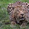 Download african leopard wallpapers, african leopard wallpapers Free Wallpaper download for Desktop, PC, Laptop. african leopard wallpapers HD Wallpapers, High Definition Quality Wallpapers of african leopard wallpapers.