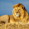 Download african lion king wallpapers, african lion king wallpapers Free Wallpaper download for Desktop, PC, Laptop. african lion king wallpapers HD Wallpapers, High Definition Quality Wallpapers of african lion king wallpapers.