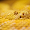 Download albino rattlesnake wallpapers, albino rattlesnake wallpapers Free Wallpaper download for Desktop, PC, Laptop. albino rattlesnake wallpapers HD Wallpapers, High Definition Quality Wallpapers of albino rattlesnake wallpapers.