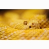 Albino Rattlesnake Wallpapers