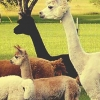 Download alpacas cover, alpacas cover  Wallpaper download for Desktop, PC, Laptop. alpacas cover HD Wallpapers, High Definition Quality Wallpapers of alpacas cover.