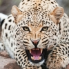 Download amazing cheetah wallpapers, amazing cheetah wallpapers Free Wallpaper download for Desktop, PC, Laptop. amazing cheetah wallpapers HD Wallpapers, High Definition Quality Wallpapers of amazing cheetah wallpapers.