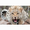 Amazing Cheetah Wallpapers