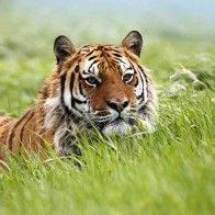 Amazing Siberian Tiger Wallpapers