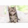 American Shorthair Kitten Wallpapers