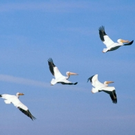 American White Pelicans Hd Wallpapers