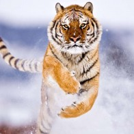 Amur Tiger In Snow Wallpapers
