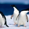 Download animals pinguine wallpapers, animals pinguine wallpapers Free Wallpaper download for Desktop, PC, Laptop. animals pinguine wallpapers HD Wallpapers, High Definition Quality Wallpapers of animals pinguine wallpapers.