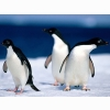 Animals Pinguine Wallpapers