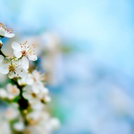 Apple Tree Bloom Wallpapers