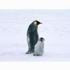 Arctic Penguins Life Wallpapers