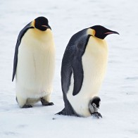 Arctic Penguins Pair Wallpapers