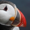 Download atlantic puffin wallpapers, atlantic puffin wallpapers Free Wallpaper download for Desktop, PC, Laptop. atlantic puffin wallpapers HD Wallpapers, High Definition Quality Wallpapers of atlantic puffin wallpapers.