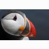 Atlantic Puffin Wallpapers