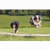 Australian Sheperds Wallpapers