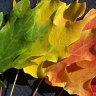 Autumn Leafs Cover