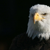 Bald Eagle 00 Hd Wallpapers