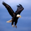 Download bald eagle 6 hd wallpapers, bald eagle 6 hd wallpapers Free Wallpaper download for Desktop, PC, Laptop. bald eagle 6 hd wallpapers HD Wallpapers, High Definition Quality Wallpapers of bald eagle 6 hd wallpapers.