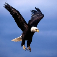 Bald Eagle 6 Hd Wallpapers