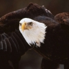 Download bald eagle 7 hd wallpapers, bald eagle 7 hd wallpapers Free Wallpaper download for Desktop, PC, Laptop. bald eagle 7 hd wallpapers HD Wallpapers, High Definition Quality Wallpapers of bald eagle 7 hd wallpapers.