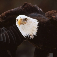 Bald Eagle 7 Hd Wallpapers