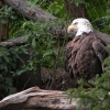 Download bald eagle hd wallpapers, bald eagle hd wallpapers Free Wallpaper download for Desktop, PC, Laptop. bald eagle hd wallpapers HD Wallpapers, High Definition Quality Wallpapers of bald eagle hd wallpapers.