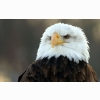 Bald Eagle Hd Wide Wallpapers