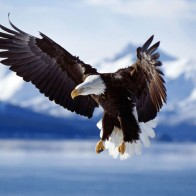 Bald Eagle In Flight Alaska Wallpapers