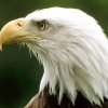 Download bald eagle montona hd wallpapers, bald eagle montona hd wallpapers Free Wallpaper download for Desktop, PC, Laptop. bald eagle montona hd wallpapers HD Wallpapers, High Definition Quality Wallpapers of bald eagle montona hd wallpapers.
