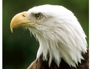 Bald Eagle Montona Hd Wallpapers