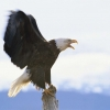 Download bald eagles hd wallpapers new 6, bald eagles hd wallpapers new 6 Free Wallpaper download for Desktop, PC, Laptop. bald eagles hd wallpapers new 6 HD Wallpapers, High Definition Quality Wallpapers of bald eagles hd wallpapers new 6.