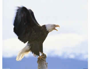 Bald Eagles Hd Wallpapers New 6