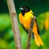 Download baltimore oriole hd wallpapers, baltimore oriole hd wallpapers Free Wallpaper download for Desktop, PC, Laptop. baltimore oriole hd wallpapers HD Wallpapers, High Definition Quality Wallpapers of baltimore oriole hd wallpapers.