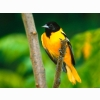 Baltimore Oriole Wallpapers