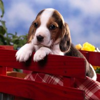 Beagle Puppy Wallpapers