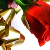 beautiful red love rose,Love hd Wallpapers, I Love You Wallpapers Free Wallpaper download for Desktop, PC, Laptop. I Love You Wallpapers HD Wallpapers, High Definition Quality Wallpapers of I Love You Wallpapers.