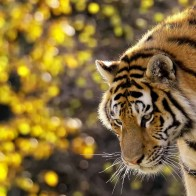 Beautiful Tiger Wallpapers