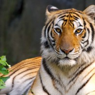Beauty Of Tiger Wallpapers